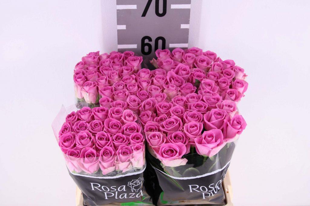 rosa aqua