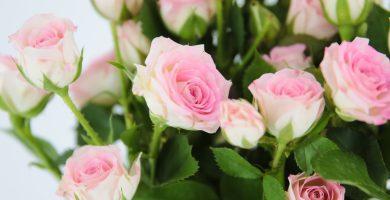 rosa pray rosa