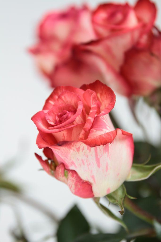 rosa bicolor HighTwinkle