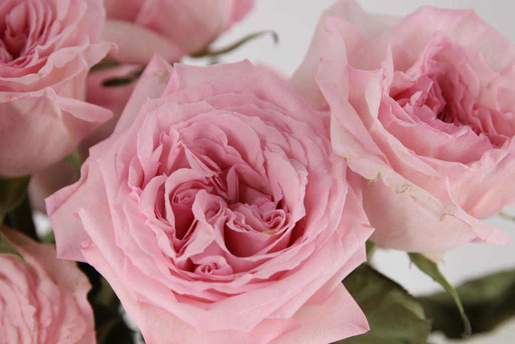rosa de jardin pink o hara
