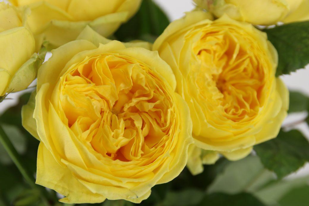 rosa de jardín amarilla