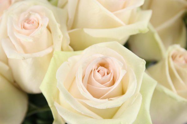 rosa crema