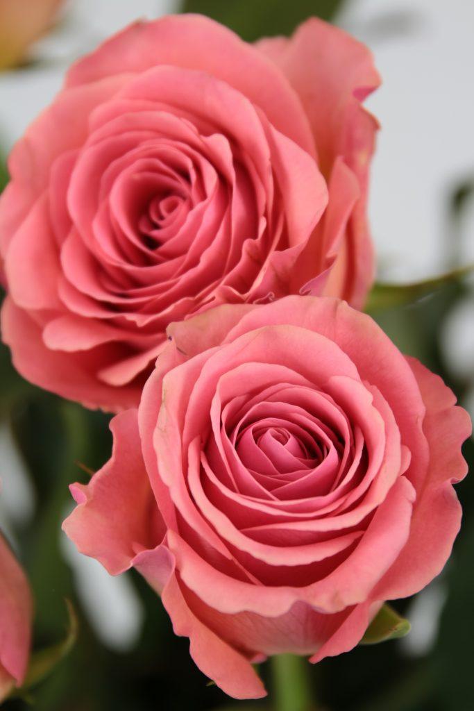 rosa saga producida en Ecuador