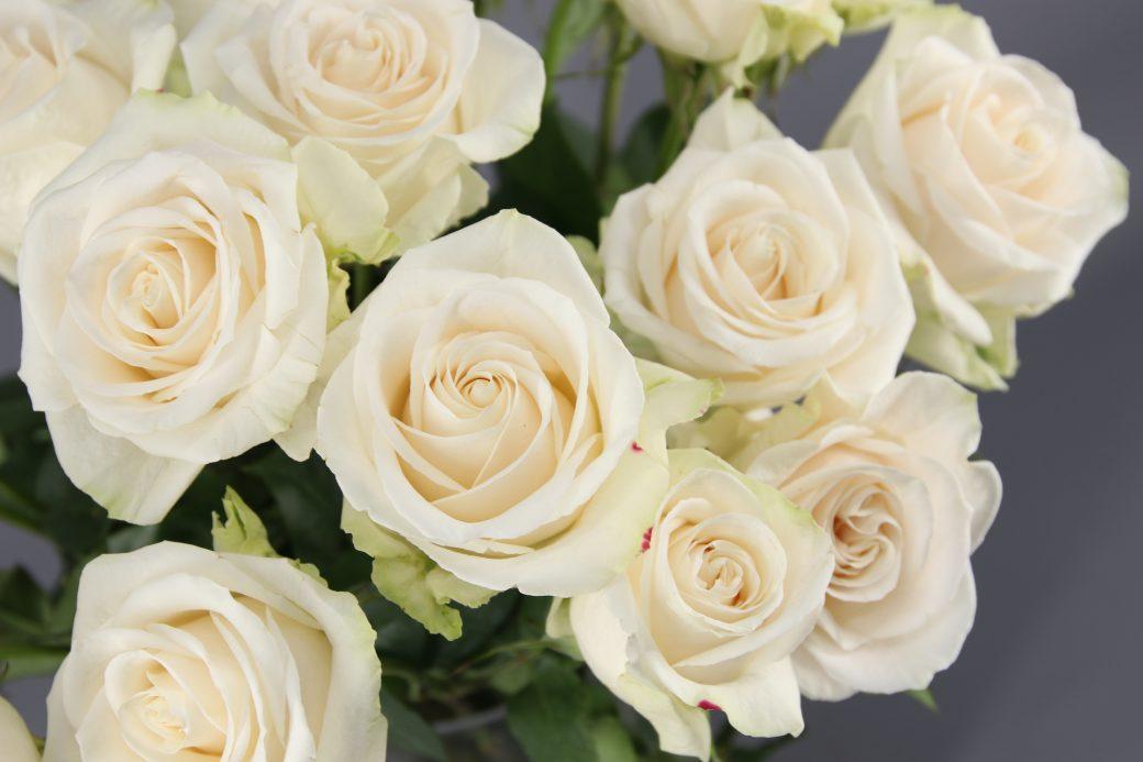 rosa blanca vendela producida en ecuador