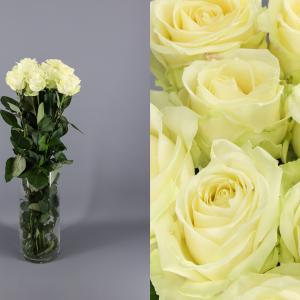 rosas blancas avalanche