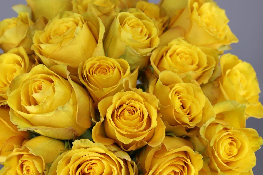 rosas amarillas Bikini
