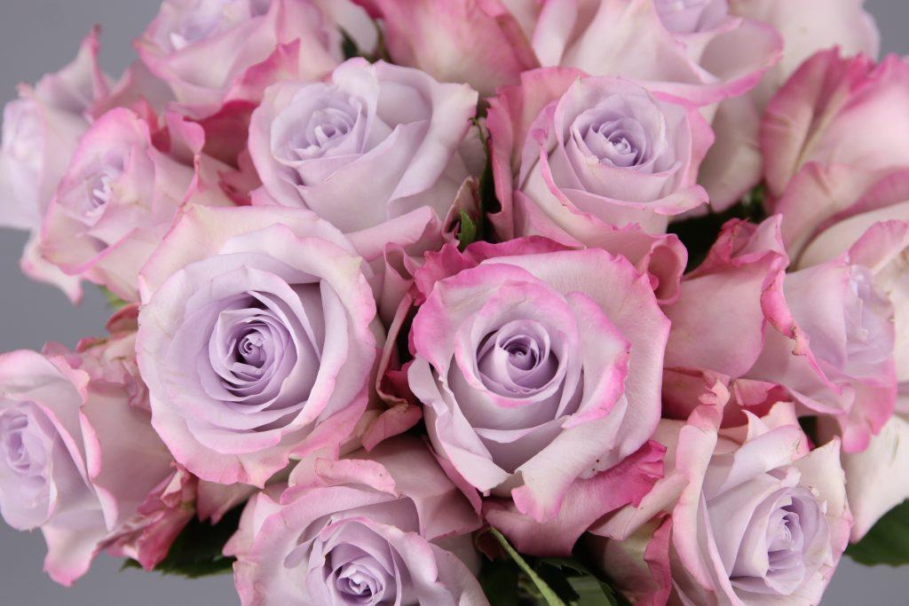 rosa purple haze