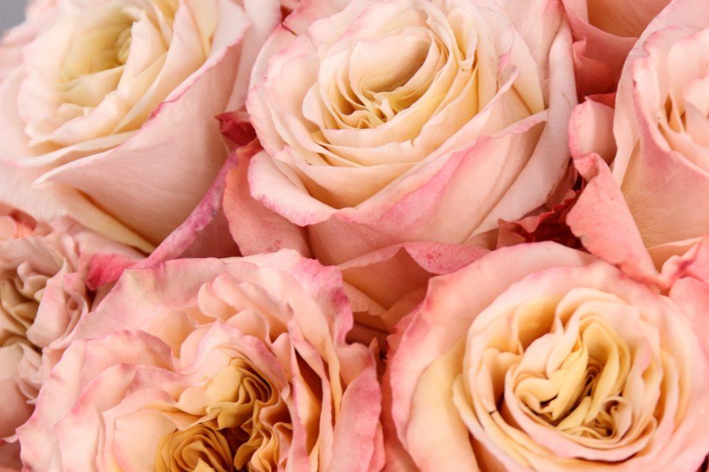 rosa shimmer