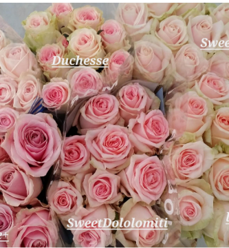 estudio de rosas