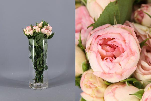 rosa de jardin de color rosa