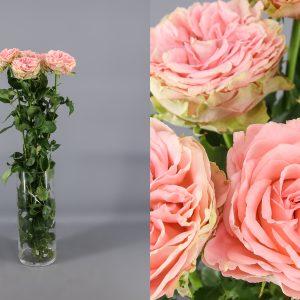 rosa de jardin pink