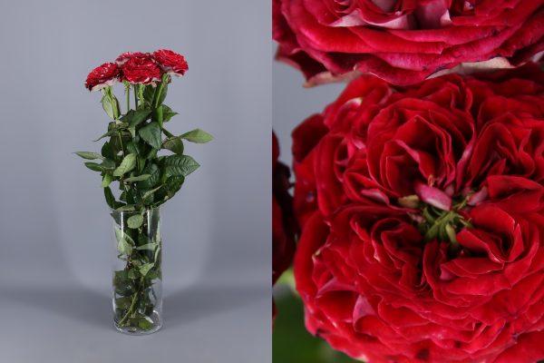 rosa fucsia rojiza