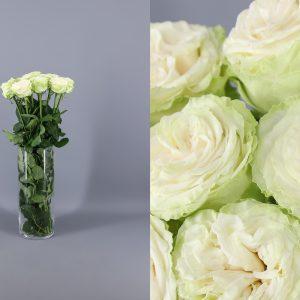 rosa de jardin verdosa clara