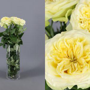 rosa de jardin amarilla