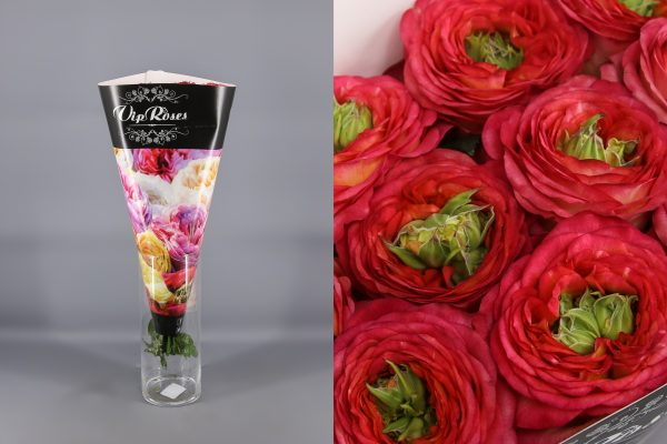 rosa houdini