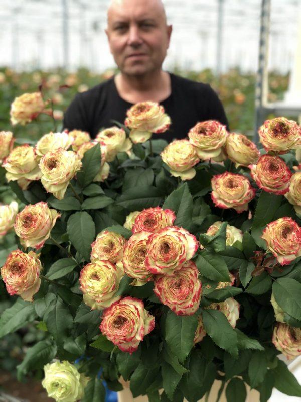rosa de jardin