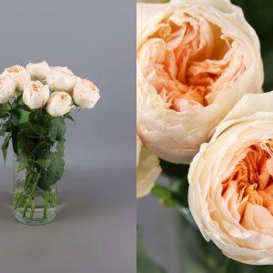 rosa de jardin peach