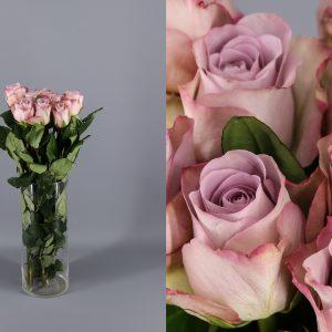 rosa lavanda