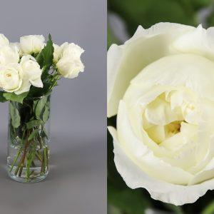rosa austin blanca