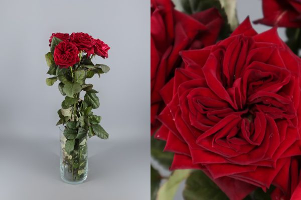 rosa de jardín roja