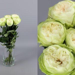 rosa de jardin blanca verdosa