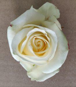 rosa blanca avalanche+ apertura