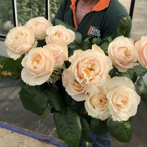 rosa de jardin crma