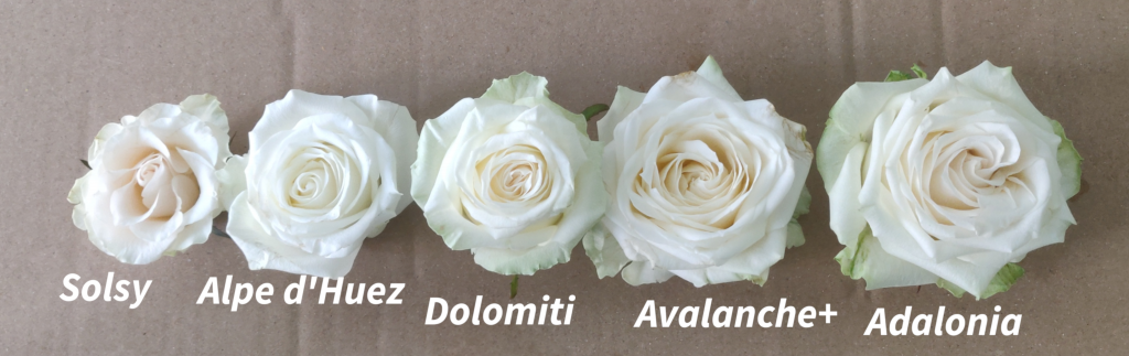 rosas blancas apertura
