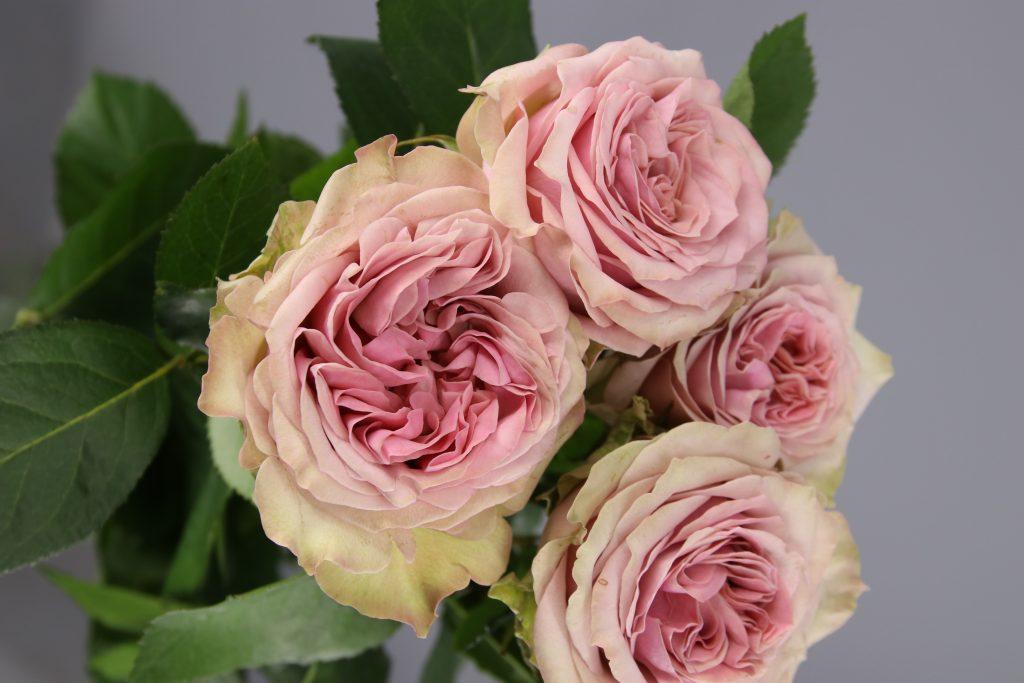 rosas de jardin rosada