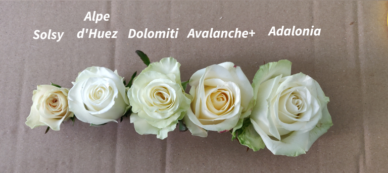 rosas blancas subasta