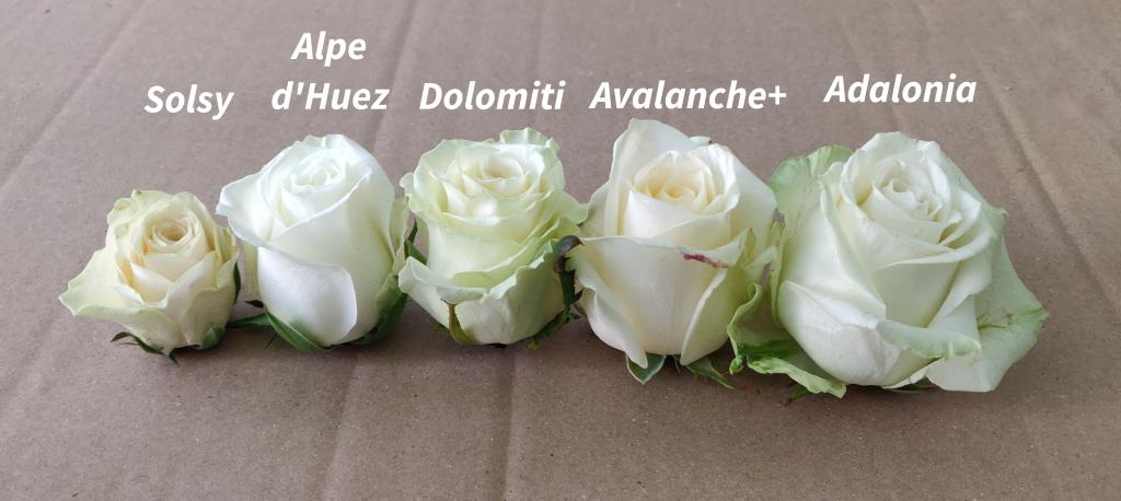 longitud rosas blancas