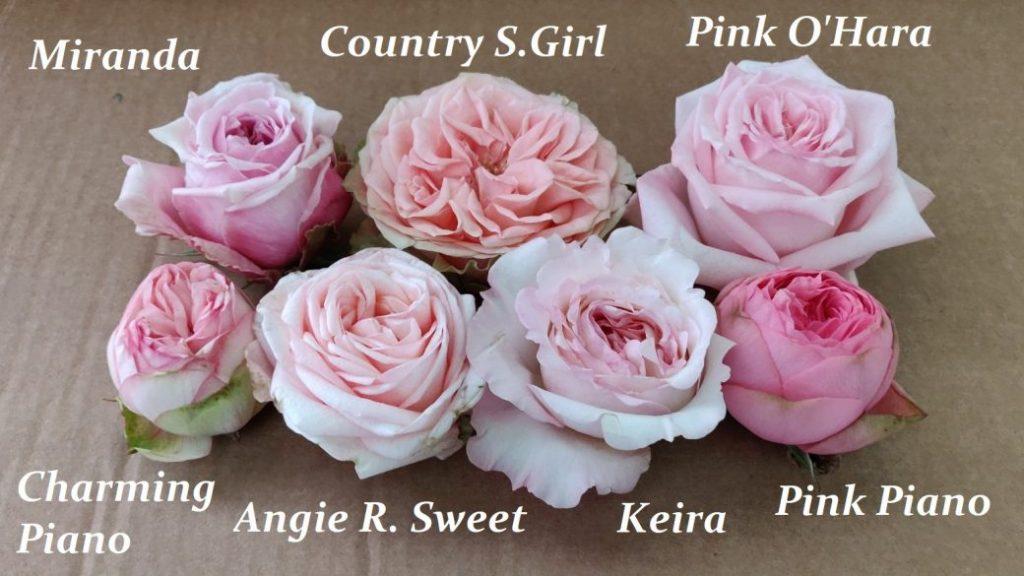 rosas de jardin rosas