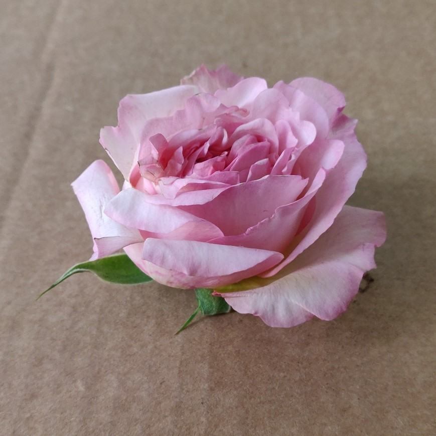 rosa de jardín