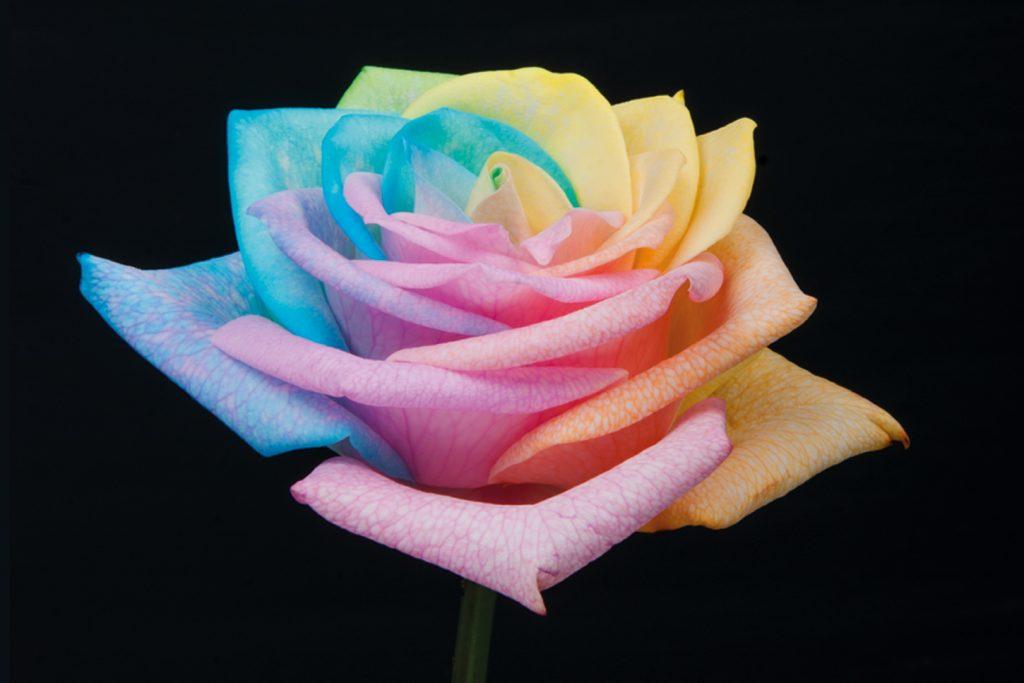 rosas rainbow pastel