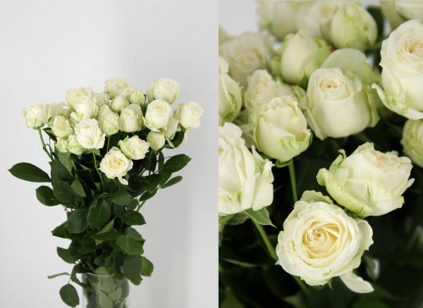 rosa ramificada blanca