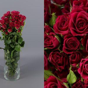 glorious rosa ramificada