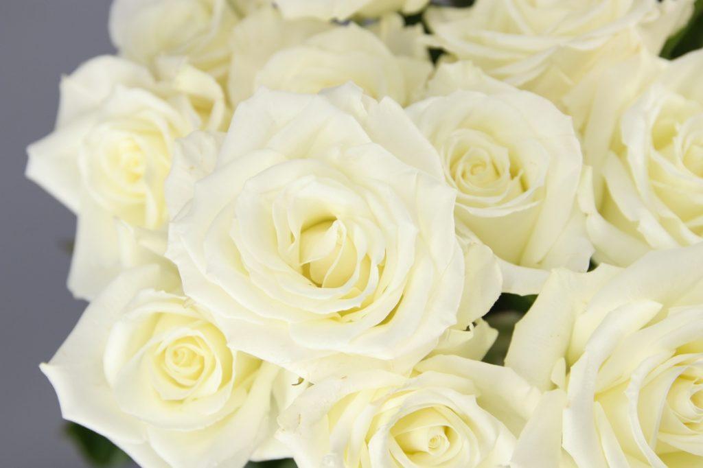 rosa blanca Escimo