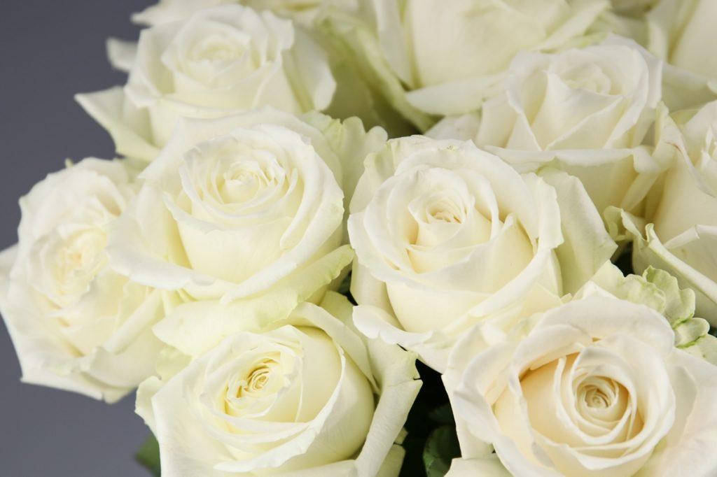 variedad de rosa blanca playablanca