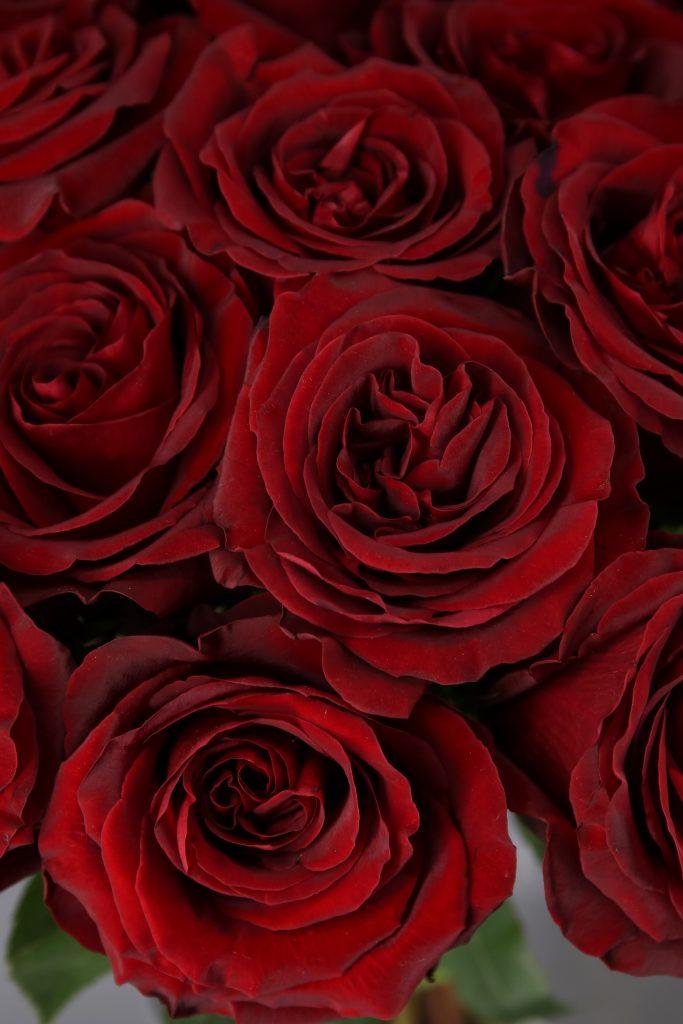rosaroja