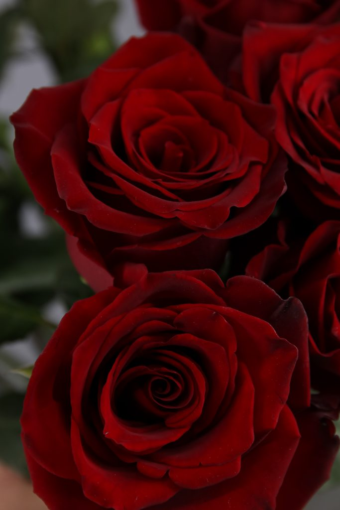 rosa roja Explorer