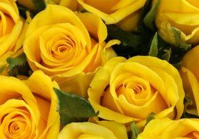 rosas de cabeza pequeña