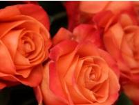 significado de las rosas naranjas