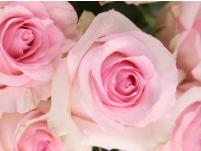 significado de las rosas rosas