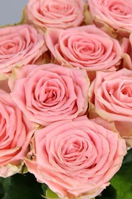 rosas de cabeza grande
