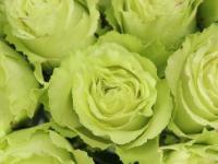 significado de las rosas verdes