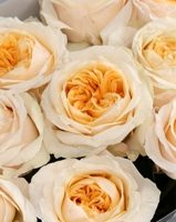 rosas de jardin