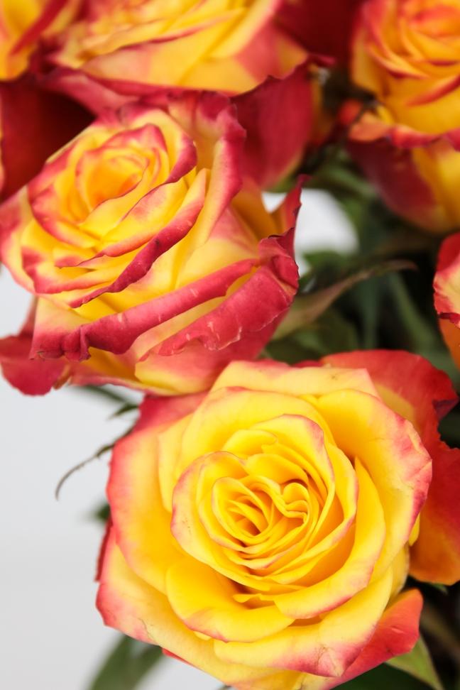 HIGH & YELLOW FLAME ROSA AMARILLA