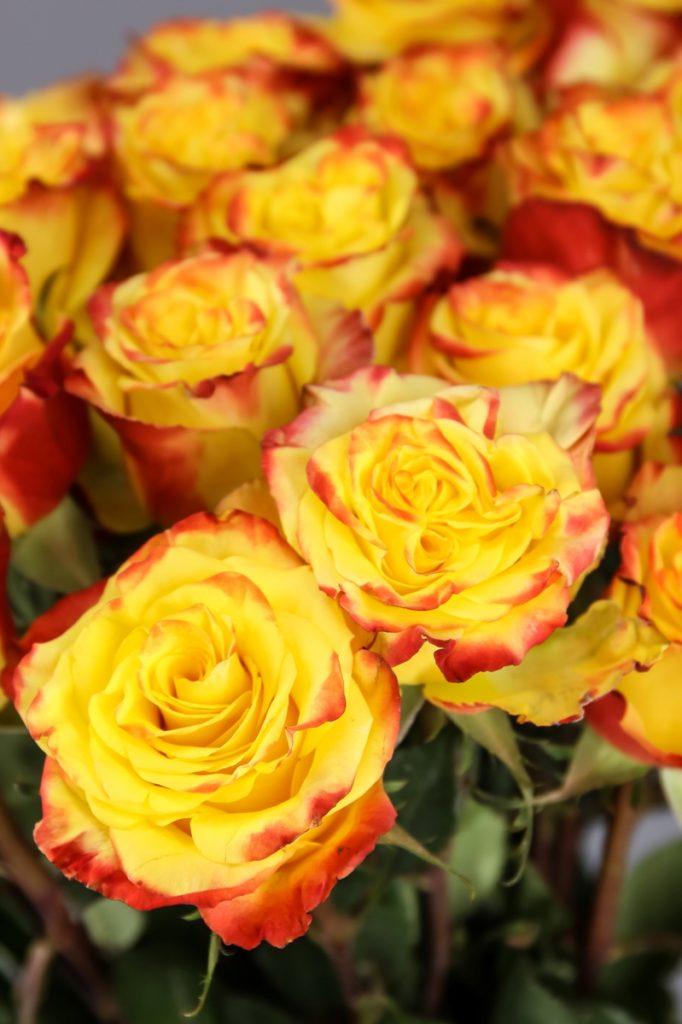 rosa amarilla High & Flame