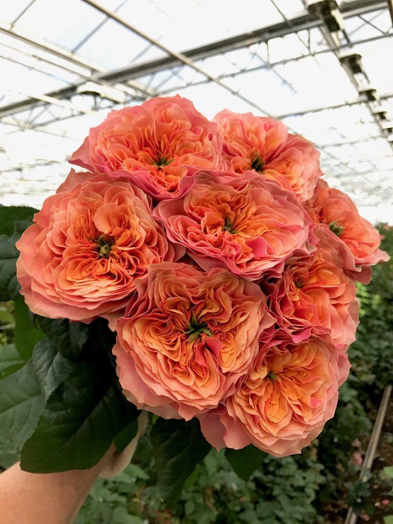 rosa naranja kensington-gardens
