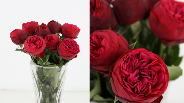 rosa roja piano